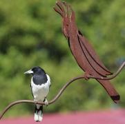 Pied Butcherbird (Image ID 35310)