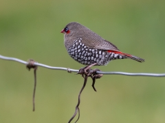Red-eared Firetail (Image ID 35347)
