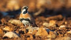 Chestnut-breasted Quail-thrush (Image ID 35397)