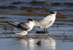 Caspian Tern, Crested Tern, Fairy Tern (Image ID 35465)