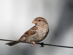 House Sparrow (Image ID 35300)