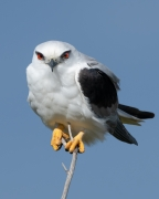 Black-shouldered Kite (Image ID 35453)