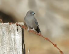 Dusky Woodswallow (Image ID 35183)