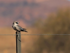 Black-faced Woodswallow (Image ID 35392)