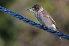 Grey Butcherbird (Image ID 35355)