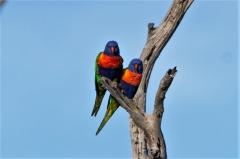 Rainbow Lorikeet (Image ID 35461)