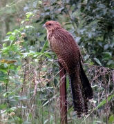 Pheasant Coucal (Image ID 35395)