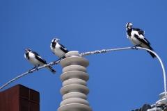 Magpie-lark (Image ID 35210)