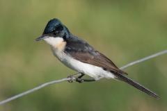 Restless Flycatcher (Image ID 35379)