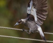 Australian Magpie (Image ID 35384)