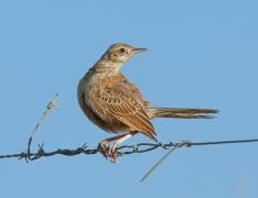 Brown Songlark (Image ID 35308)