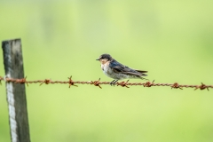 Welcome Swallow (Image ID 35369)