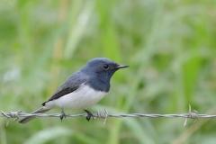 Leaden Flycatcher (Image ID 35176)