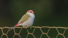 Red-browed Finch (Image ID 35104)
