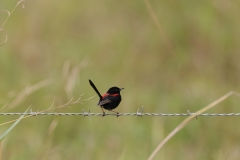 Red-backed Fairy-wren (Image ID 35177)