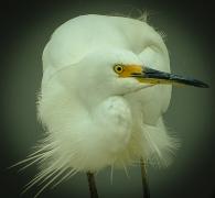 Little Egret (Image ID 35314)