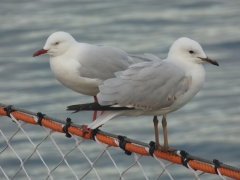 Silver Gull (Image ID 35404)