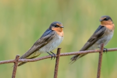 Welcome Swallow (Image ID 35273)