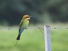 Rainbow Bee-eater (Image ID 35403)