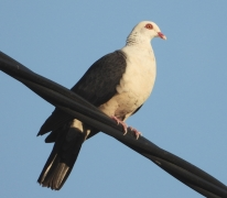 White-headed Pigeon (Image ID 35341)