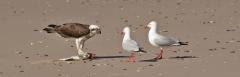 Osprey, Silver Gull (Image ID 35703)