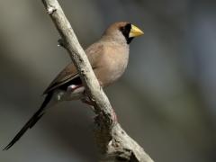 Masked Finch (Image ID 35739)