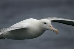 Southern Royal Albatross (Image ID 35631)