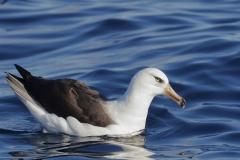 Campbell Albatross (Image ID 35729)