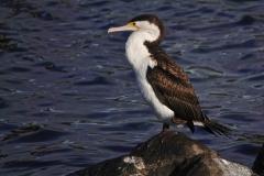 Pied Cormorant (Image ID 35792)