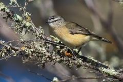 Yellow-rumped Thornbill (Image ID 35764)