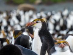 Royal Penguin (Image ID 35629)