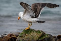 Pacific Gull (Image ID 35677)