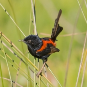 Red-backed Fairy-wren (Image ID 35706)