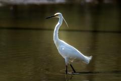 Little Egret (Image ID 35611)
