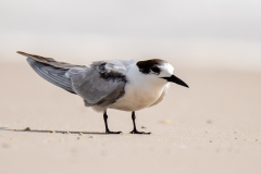Common Tern (Image ID 35665)