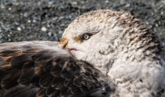Southern Giant-Petrel (Image ID 35813)