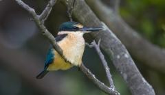 Sacred Kingfisher (Image ID 35544)