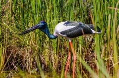 Black-necked Stork (Image ID 35816)