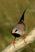 Long-tailed Finch (Image ID 35740)