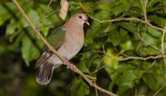 Brown-capped Emerald-Dove (Image ID 35541)