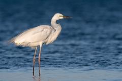 Great Egret (Image ID 35678)