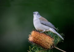 Grey Shrike-thrush (Image ID 35826)