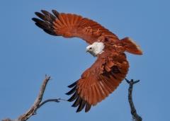 Brahminy Kite (Image ID 35795)