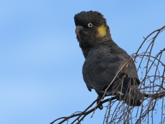Yellow-tailed Black-Cockatoo (Image ID 35684)