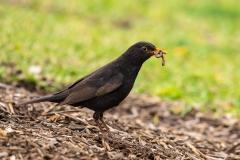 Common Blackbird (Image ID 35873)