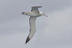 Antipodean Albatross (Image ID 35730)