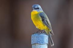 Eastern Yellow Robin (Image ID 35721)