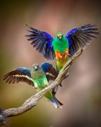 Mulga Parrot (Image ID 35793)