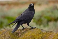 Little Raven (Image ID 35791)