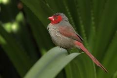 Crimson Finch (Image ID 35741)
